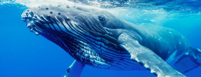 Ecco il decreto sul servizio civile universale: le balene ci mettono di meno